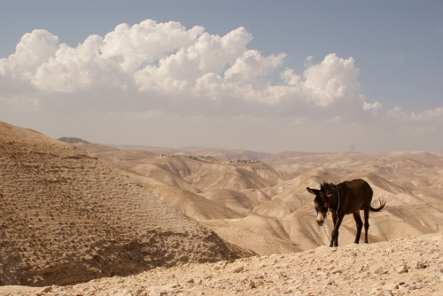 A donkey in the Judean Desert