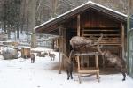 Capricorns in Felkirchs Ardetzenberg deer-park